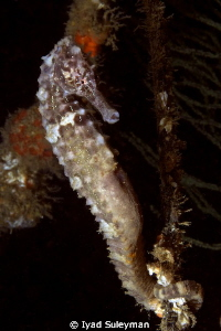 Seahorse holding onto a rope